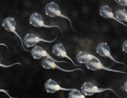 têtards xénopes (Photo:  David Freiheit)