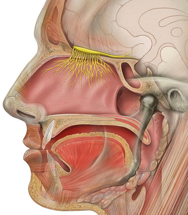 _Head_olfactory_nerve-2